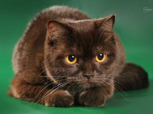 Шотландский шоколадный кот