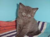 Фото британских котят второго помета Mystic Margo и Magic Richi