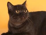 Фото котят 1-го помета Annabelle Bastet Mystery