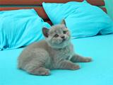 Фото британских котят третьего помета Mystic Margo и Magic Richi