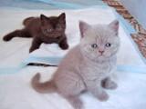 Фото шотландских котят Gloriya Bastet Mystery