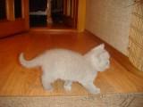 Фото британских котят от Ричи и Сони