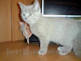 Лиловый алиментный котенок Larson