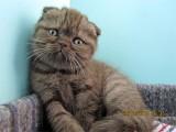 В питомнике родились  шотландские котята
