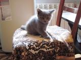 Родились шотландские котята