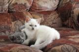 Родились британские котята