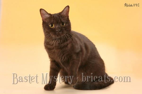 Британская кошка Mystic Margo Le Shat En Velours (1 год и 4 месяца)