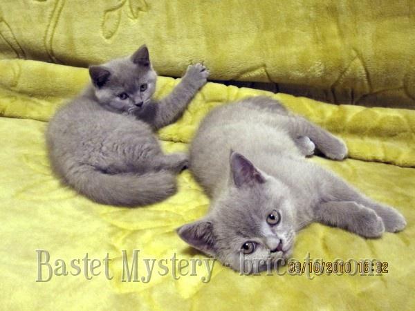 Фото британских котят от Ричи и Тишы