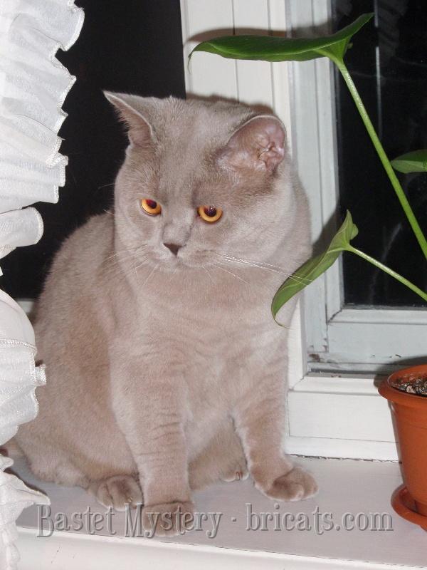 Лиловый британский кот Adam Bastet Mystery