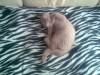 Лиловый британский кот Byte Bastet Mystery