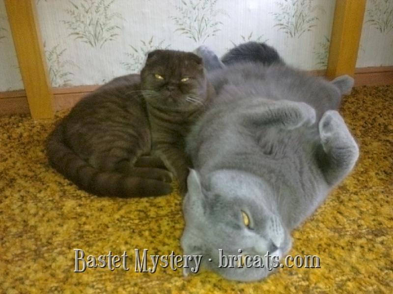 Шотландская вислоухая кошка  шоколадная