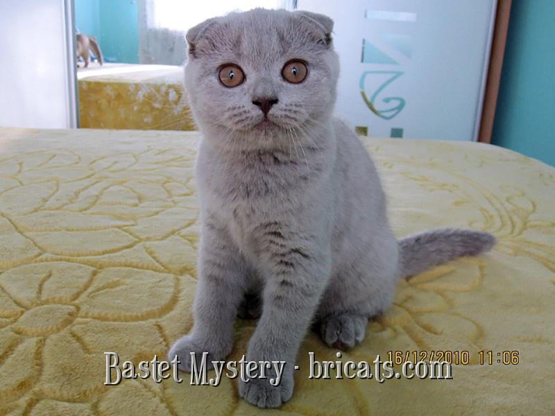 Шотландская кошка лилового окраса