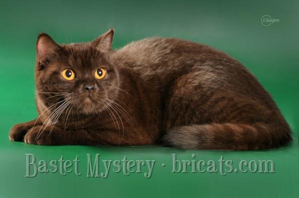 Шотландская короткошерстная шоколадная кошка Cleopatra Bastet Mystery (1год и 1 месяц)
