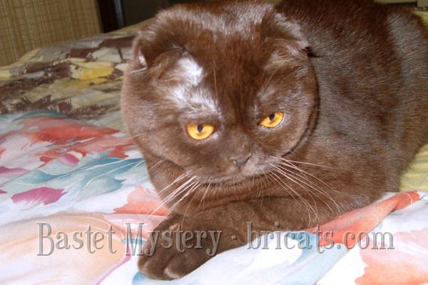 Шотландская вислоухая шоколадная кошка Cassandra Bastet Mystery (10 месяцев)