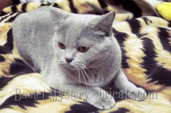 Шотландская короткошерстная кошка Cassiopeia Bastet Mystery (1 год)