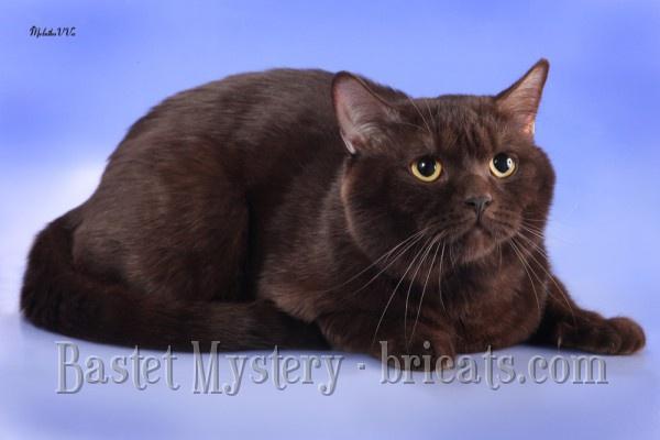 Британский шоколадный кот Avalon Bastet Mystery