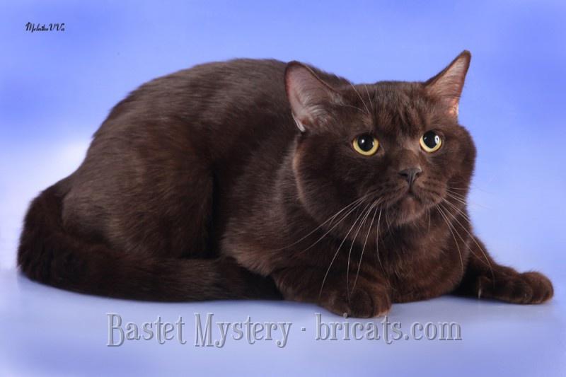 Британец шоколадный кот фото