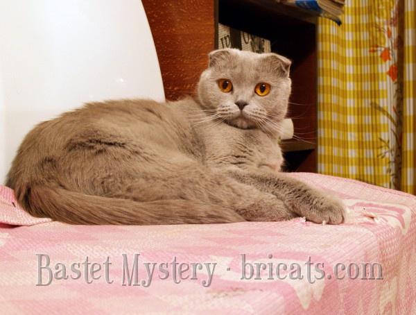 Шотландская вислоухая лиловая кошка Calypso Bastet Mystery (1 год)