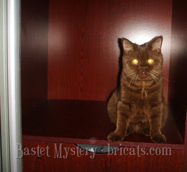 Британская шоколадная кошка Dara Bastet Mystery (8 месяцев)