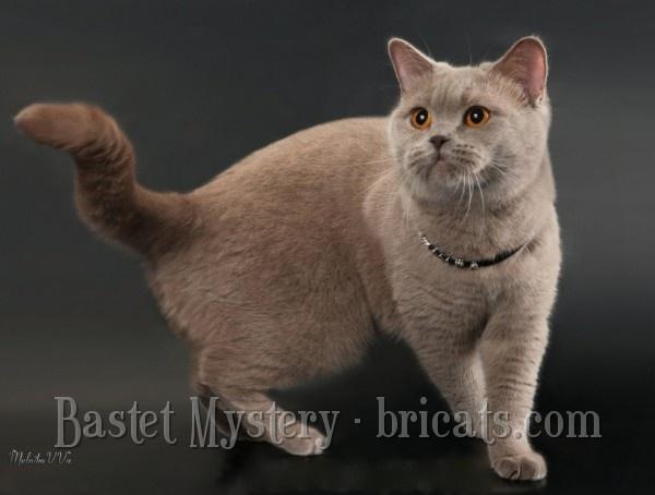 Лиловая британская кошка Amanda Bastet Mystery
