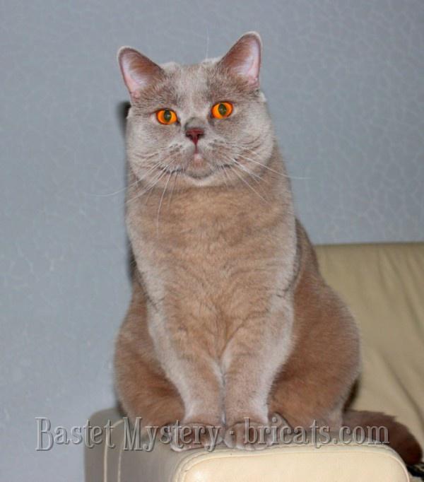 Британский короткошерстный кот лилового окраса Byte Bastet Mystery в возрасте 2 года 3 месяца