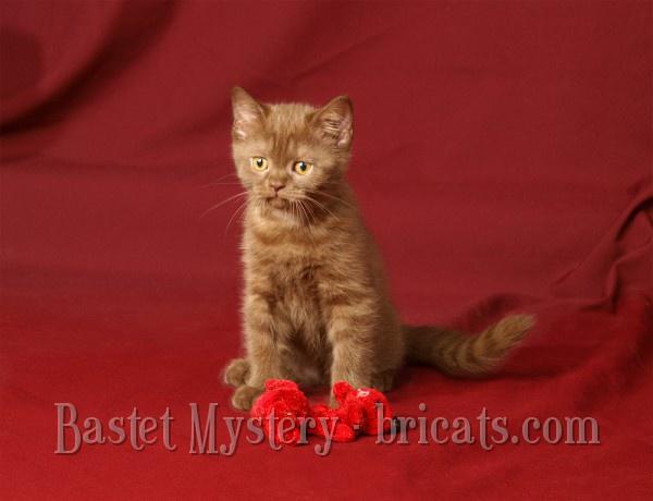 Фото шотландских котят второго помета GICH Cleopatra Bastet Mystery
