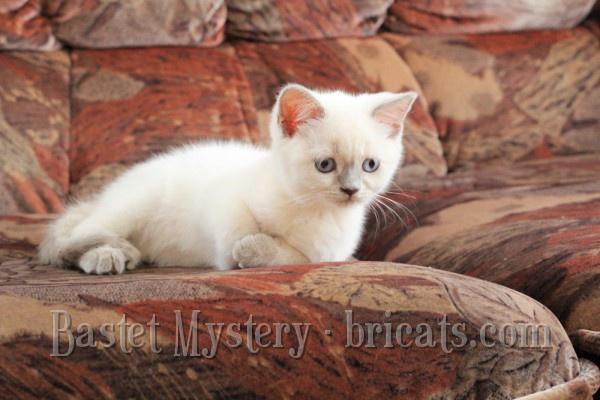 Фото британских котят шоколадной кошки Francesca Bastet Mystery